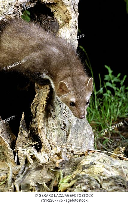 Stone Marten or Beech Marten, martes foina, standing on Stump