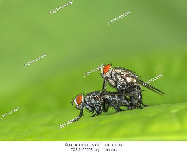 Housefly mating, Mumbai, Maharashtra, India