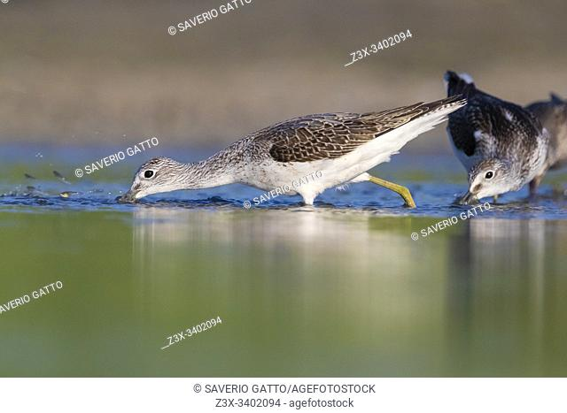 Greenshank (Tringa nebularia), two adults catching fish in a pond, Campania, Italy