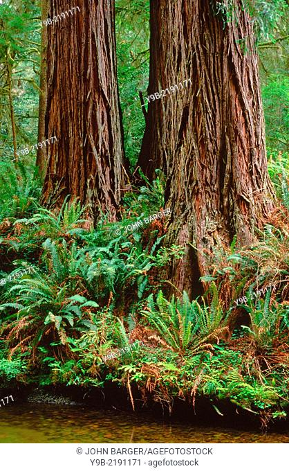 Redwoods (Sequoia sempervirens) rise above ferns and creek, Prairie Creek Redwood State Park, northern California, USA