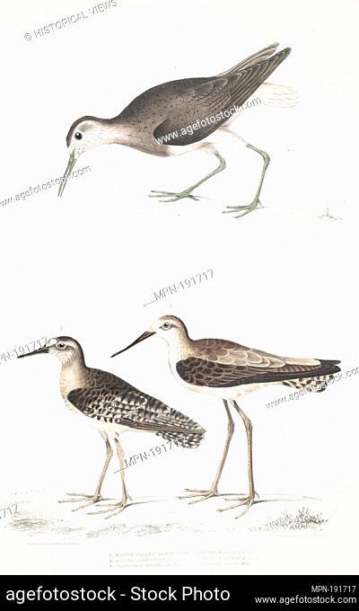 1. White Tailed Sandpiper, Totanus leucurus; 2. Allied Sandpiper, Totanus affinis; 3. Cawnpore Snipe, Totanus Lathami. Gray, John Edward, 1800-1875 (Creator)