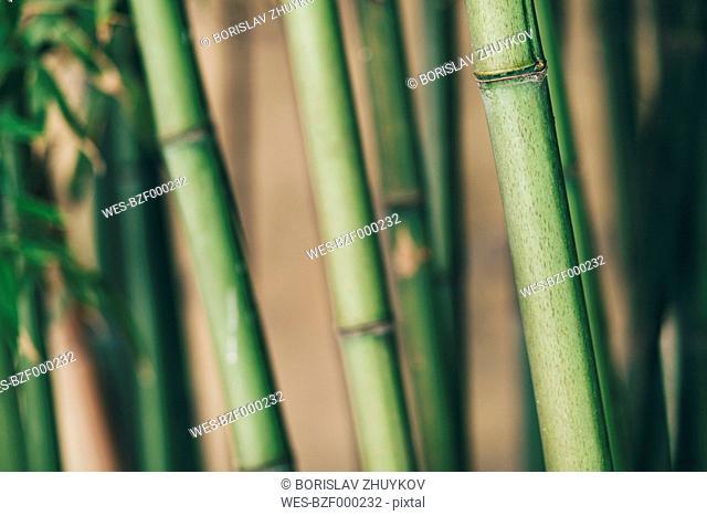 Bamboo, close up