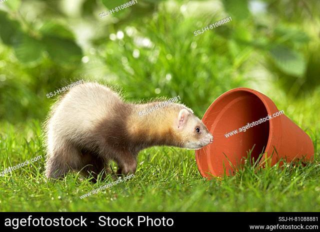 Ferret (Mustela putorius furo). Juvenile explores a flower pot. Germany