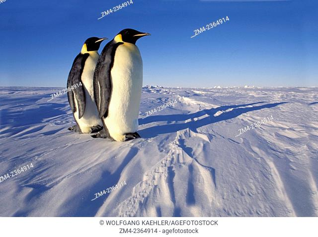 Two Emperor penguins (Aptenodytes forsteri) standing on fast ice near the Atka Iceport at the Ekstrom Ice Shelf on the coast of Queen Maud Land in Antarctica