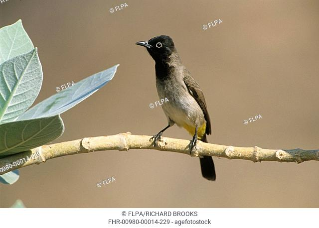 White-spectacled Bulbul Pycnonotus xanthopygos Perched on branch - Oman