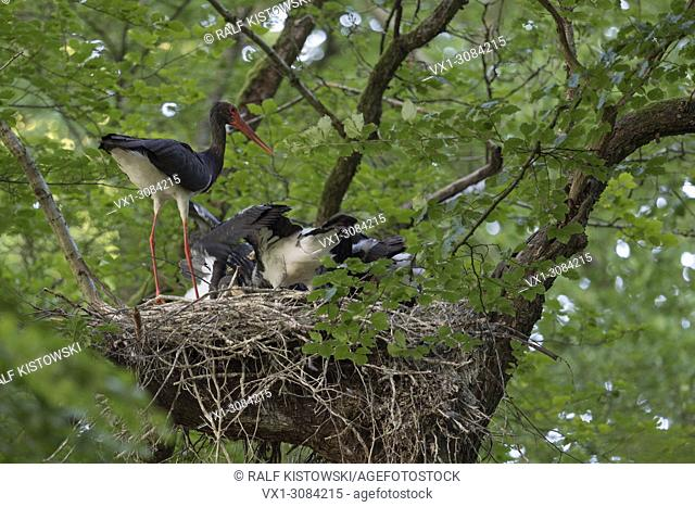 Black Stork (Ciconia nigra) at their nesting site, adult feeding its chicks, high up in a huge old beech tree, hidden, secretive, wildlife, Europe