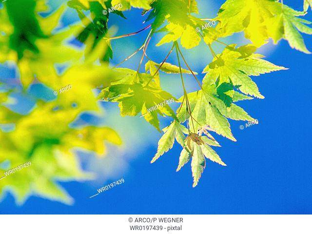 Maple, leaves,Acer, palmatum