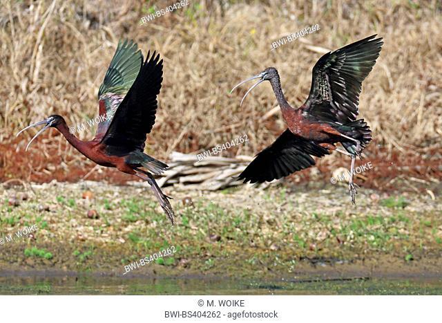 glossy ibis (Plegadis falcinellus), two Glossy ibises taking off, USA, Florida