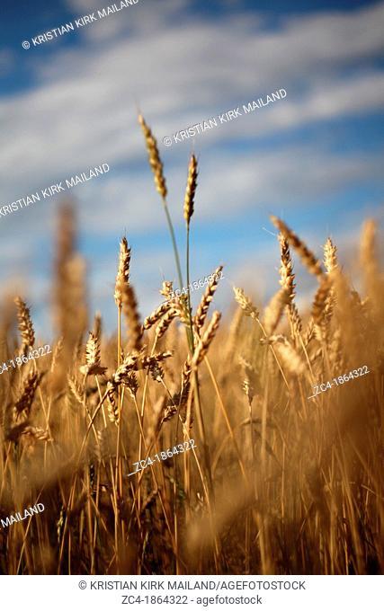 Wheat against summer sky, ready for harvest. Denmark