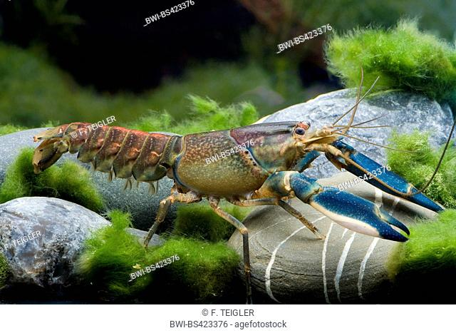 Hoa Creek Crayfish (Cherax Hoa Creek), in aquarium