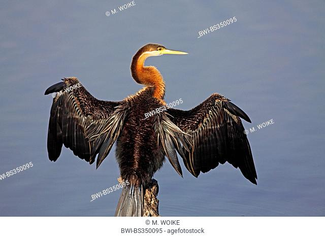 African darter (Anhinga rufa), sitting on a pole and dries the wings, plumage grooming, South Africa, Pilanesberg National Park