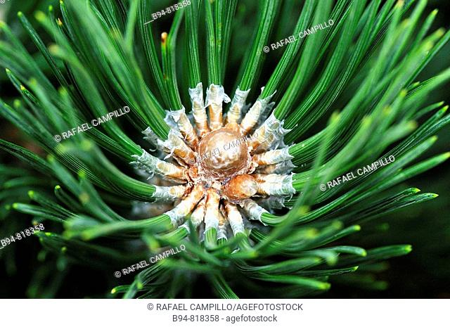 Pine needles. Osseja, Languedoc-Roussillon, Pyrenees-Orientales, France