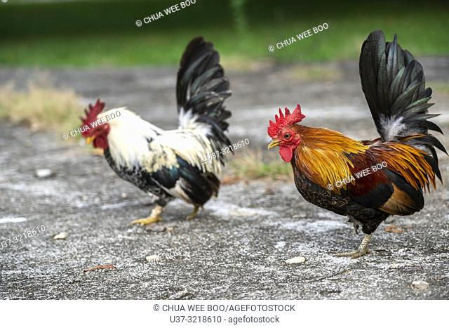 Free range chickens in Kunmai Ban Suan Resort, Thaton, Thailand
