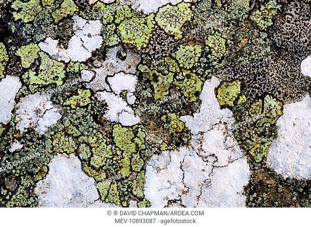 Map Lichen (Rhizocarpon geographicum)
