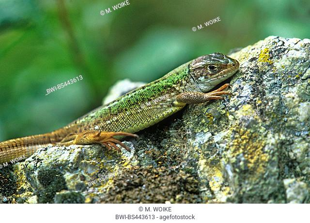 sand lizard (Lacerta agilis), male sunbathing on a stone, side view, Austria, Burgenland, Neusiedler See National Park