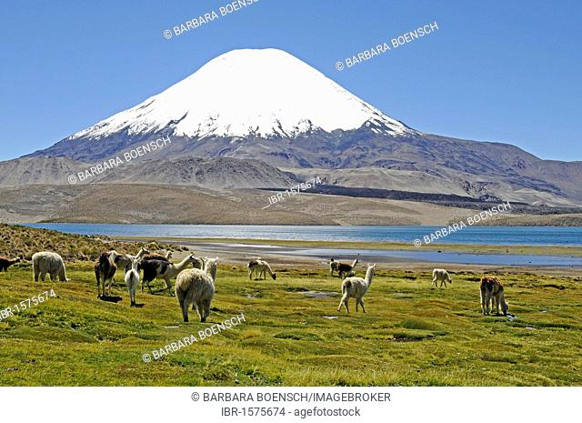 Guanacos (Llama guanicoe), Parinacota Volcano, Lake Chungara, Lauca National Park, Altiplano, Norte Grande, Northern Chile, Chile, South America