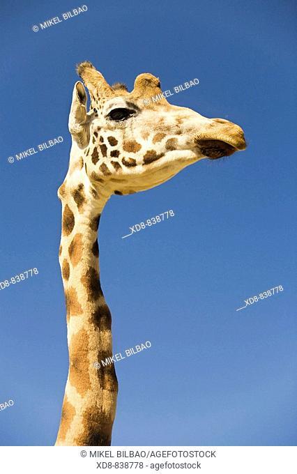 giraffe Giraffa camelopardalis neck and head