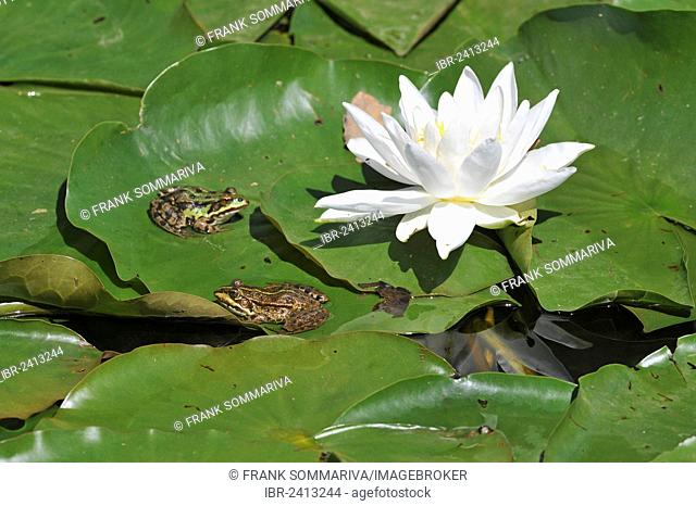 Common Water Frogs or Green Frogs (Rana esculenta), sitting on the leaves of a white Water Lily (Nymphaea alba), Saxony, Germany, Europe