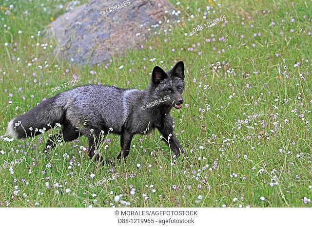 Silver Fox  Silver colour  Vulpes vulpes  Order: Carnivora Family: Canidae