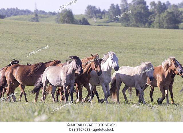 China, Inner Mongolia, Hebei Province, Zhangjiakou, Bashang Grassland, horses in a group in the meadow