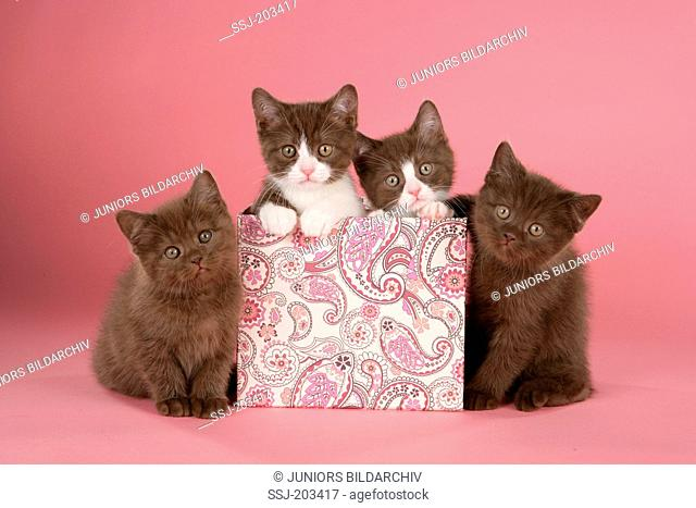 British Shorthair, BKH. Four kittens in and next to a box. Studio picture against a pink background. Germany