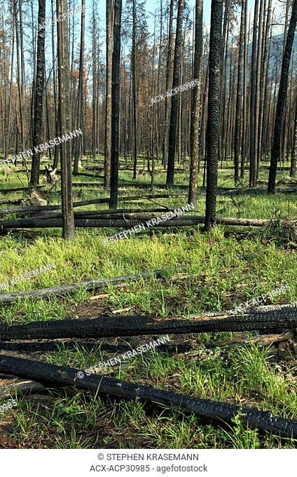 2008 Forest Fire aftermath, Burnt Pine Trees, Jasper National Park, Alberta, Canada