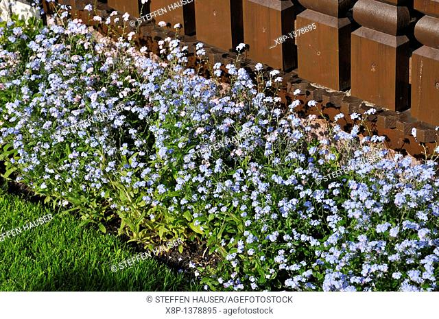 Forget-me-not Myosotis sylvatica