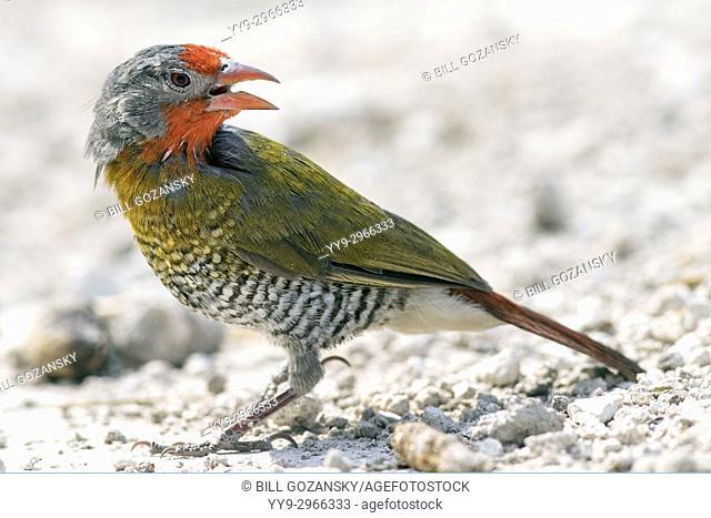 Green-winged pytilia (Pytilia melba) - Onkolo Hide, Onguma Game Reserve, Namibia, Africa