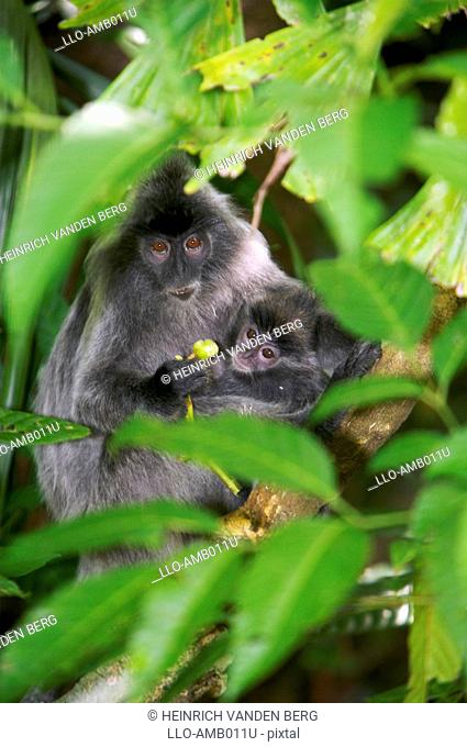 Silvered Leaf Monkey Presbytis cristata with Baby  Bako National Park, Borneo, Malaysia