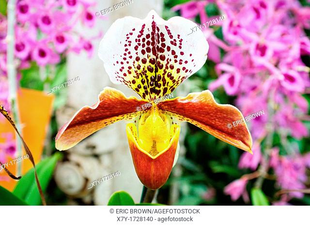 An ornate orchid