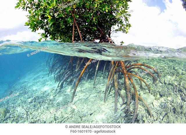 Mangrove, Rhizopora sp , U Province, Pohnpei, Federated States of Micronesia