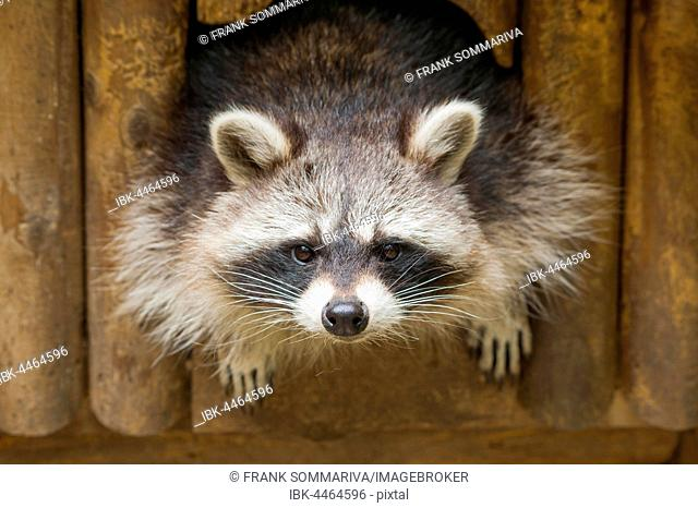 North American raccoon (Procyon lotor) looking out of hiding place, Thuringia, Germany