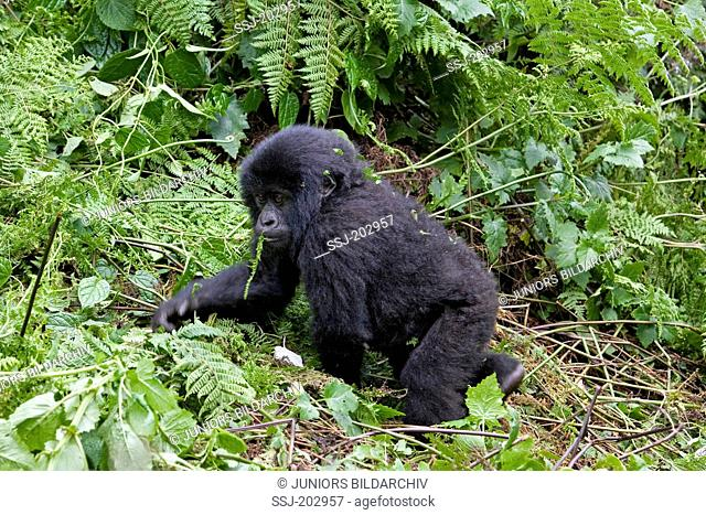 Mountain Gorilla (Gorilla beringei beringei). Juvenile walking on the ground. Volcanoes National Park, Rwanda