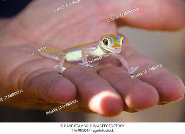 colorful Palmato Gecko, one of the creatures of the Namib Naukluft Desert in Namibia