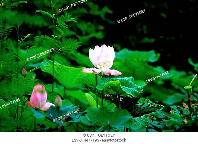 Flower Nymphaea lotus Linn