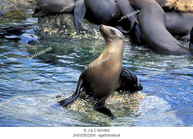 Californian Sea Lion,Zalophus californianus,California,USA,adults in water