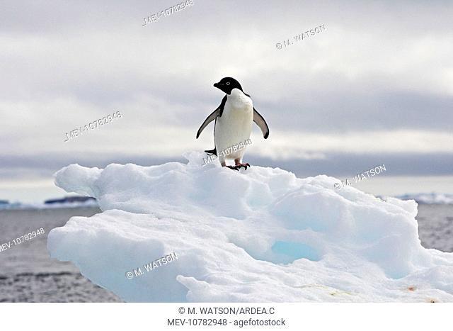 Adelie Penguin - resting on iceberg. (Pygoscelis adeliae)