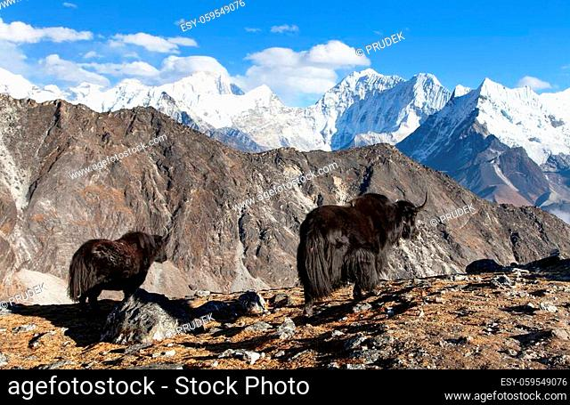 yak, group of two yaks on the way to Everest base camp, Nepal Himalayas yak is farm an d caravan animal in Nepal and Tibet