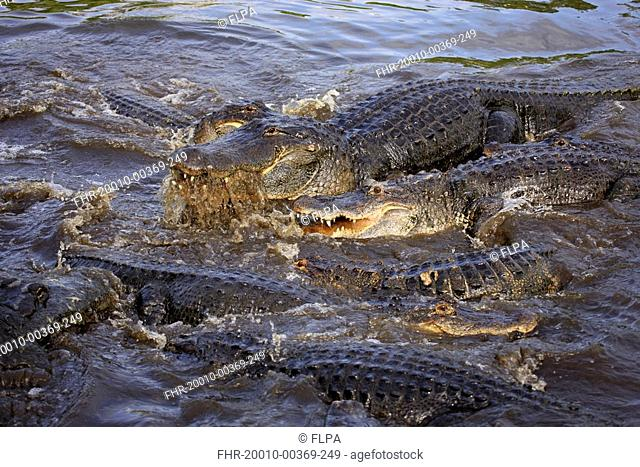 American Alligator Alligator mississipiensis adults, group feeding in water, Florida, U S A