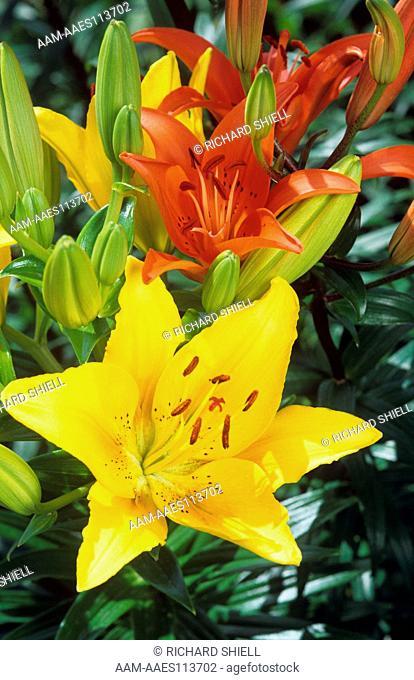 Hardy Lily, Lilius Sinai (yellow) and L. mid-century (dark orange)