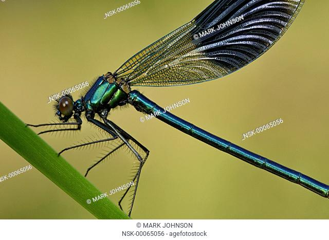 Banded Demoiselle (Calopteryx splendens) early morning resting, England, Lincolnshire, Bassingham