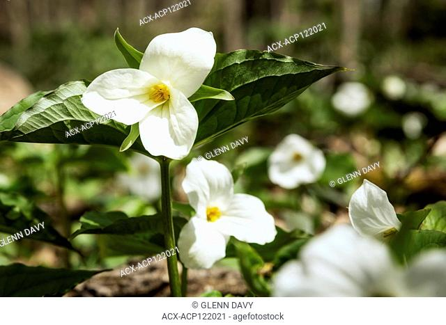 White Trilliums (Trillium grandiflorum), Ontario's Provincial flower in hardwood bush, nr Orangeville, Ontario, Canada