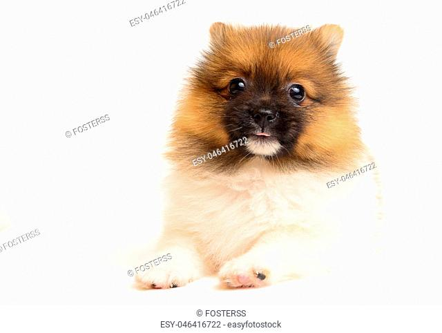 pomeranian puppy the age of 2 month isolated on white background