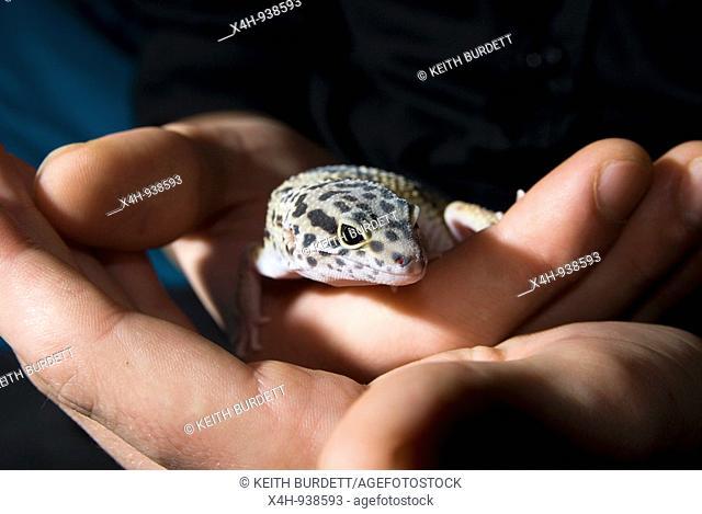 Captive Leopard Gecko, Eublepharius macularius