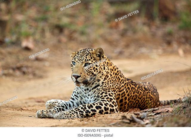 Leopard - Panthera pardus, This one is unusual in that he has blue eyes, rather than the more usual yellow, Satpura National Park, Madhya Pradesh India