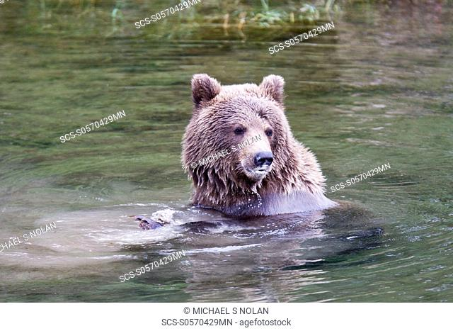 Mother brown bear Ursus arctos foraging for sockeye salmon with two year-old cub at the Brooks River in Katmai National Park near Bristol Bay, Alaska