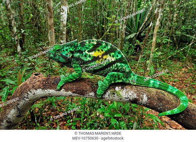 Parson's Chameleons - male (Calumma parsonii)
