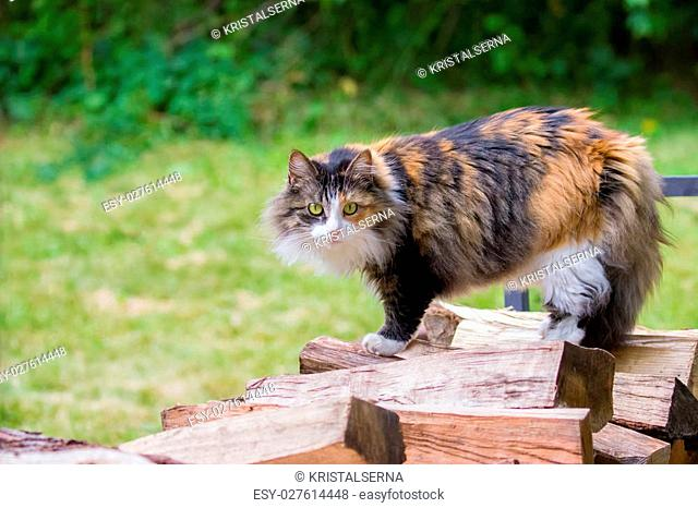 Domestic Long-Haired Calico Cat Standing on Wood Pile