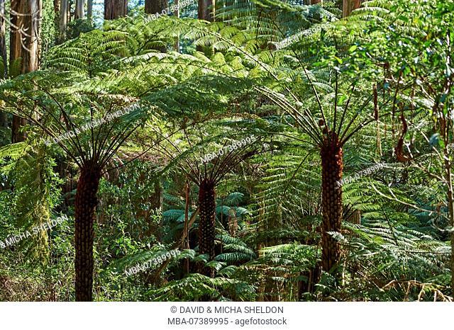 Landscape, rainforest, tree fern (Dicksonia antarctica), Dandenong Ranges National Park, Melbourne, Victoria, Australia, Oceania