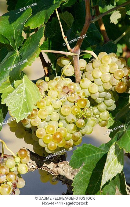 White grapes (Vitis vinifera). Vilafranca del Penedès, Alt Penedès. Barcelona province, Catalonia, Spain